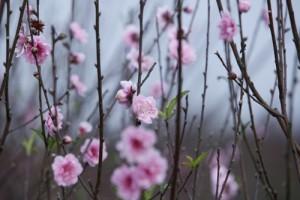Tin tức trong ngày - Ngắm đào Nhật Tân bung nở trong nắng đông