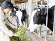 Thị trường - Tiêu dùng - Nông dân lo phải đổ sữa ra đường