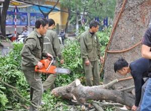 Tin tức Việt Nam - HN: Chặt hạ hàng loạt cây xanh trước cổng ĐH Giao thông Vận tải