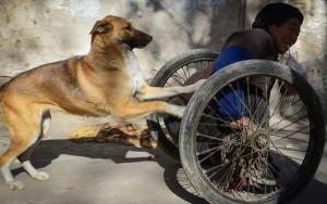 Tin tức trong ngày - Ảnh đẹp: Chó trung thành đẩy xe lăn cho chủ khuyết tật