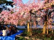 Du lịch - Chiêm ngưỡng sắc hoa anh đào Nhật Bản