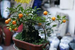 """Thị trường - Tiêu dùng - Rộ thú chơi quất bonsai: Cây """"tí hon"""" giá hàng triệu"""