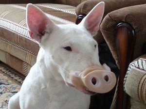 Phiếm đàm  giả cầy giả lợn