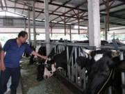 Thị trường - Tiêu dùng - Người nuôi bò sữa TP HCM cũng gặp khó