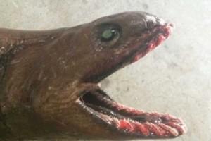 Chuyện lạ - Kinh hoàng quái vật biển với hơn 300 chiếc răng nhọn