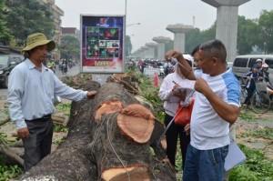 Tin tức Việt Nam - HN tiếp tục chặt gần 150 cây xà cừ tuyến Nguyễn Trãi-Trần Phú