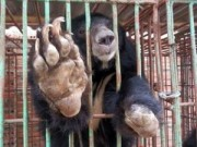 Tin tức Việt Nam - Cận cảnh trang trại nuôi nhốt khiến gấu chết hàng loạt