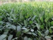 Thị trường - Tiêu dùng - Về làng trồng lá dong lớn nhất Hà Nội
