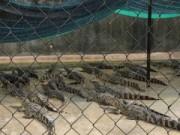 Thị trường - Tiêu dùng - Dân lo sợ khi cả trăm ngàn cá sấu được nuôi tràn lan