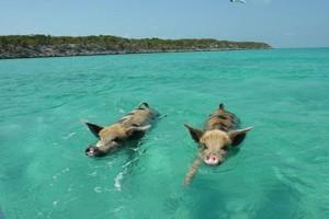 Video clip chuyện lạ - Video độc đáo: Lợn đi bơi