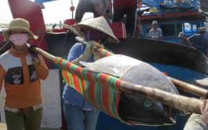 Thị trường - Tiêu dùng - Nhiều tàu trúng đậm cá ngừ đại dương