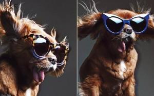 Bạn trẻ - Cuộc sống - Chú chó không răng vụt sáng thành ngôi sao thời trang