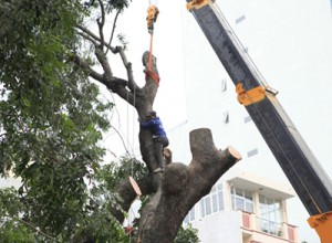 Tin tức Việt Nam - Xà cừ lại bị chặt hạ trong đợt đốn cây lớn nhất ở HN