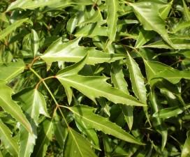 Sức khỏe đời sống - Công dụng chữa bệnh của cây đinh lăng
