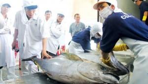 Thị trường - Tiêu dùng - 7 con cá ngừ tiếp tục lên sàn đấu giá Nhật: Đắt xắt ra miếng