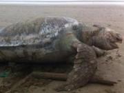 """Tin tức trong ngày - Đồi mồi biển """"khủng"""" hơn 100 kg chết dạt vào bờ"""