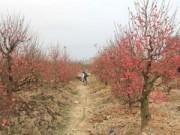 Giá cả - Cúc, đào nở sớm, giá hoa tươi Tết sẽ tăng