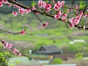 Du lịch - Clip: Say đắm vẻ đẹp của đào rừng Mộc Châu