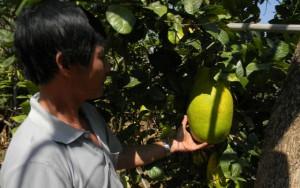 Thị trường - Tiêu dùng - Đà Lạt: Chanh khổng lồ ngọt thơm nặng tới 7kg
