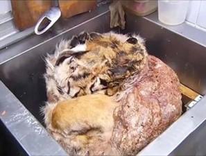 Thế giới - Đột nhập nhà hàng bán thịt hổ trái phép ở Nga