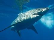 Tin bên lề thể thao - Đi lướt sóng, bỏ mạng vì… cá mập