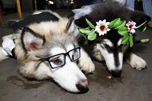 Phi thường - kỳ quặc - Clip đám cưới hoành tráng của... chó con