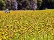 Du lịch - Thảm hoa vàng khổng lồ ở Vườn quốc gia Tràm Chim