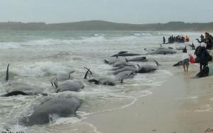 Tin tức trong ngày - 200 cá voi mắc cạn, phơi mình trên bãi biển New Zealand