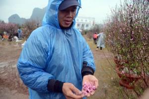 Tin tức trong ngày - Chợ hoa xuân Hạ Long: Đào, mai tan tác dưới mưa rào