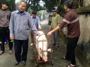 """Tin tức trong ngày - Chùm ảnh: Xem """"đụng lợn"""" ngày Tết ở làng quê"""