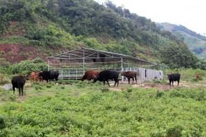 Thị trường - Tiêu dùng - Đột nhập trang trại bò tót lai