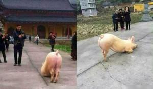 Phi thường - kỳ quặc - Kì lạ lợn quỳ lạy trước cửa Phật