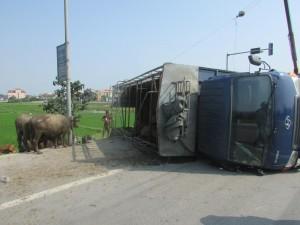 Tin tức trong ngày - Xe chở bị lật, trâu, bò chạy tán loạn trên đường