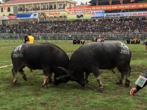 Tin tức Việt Nam - Ngày đầu Hội chọi trâu: Ấn tượng với màn quyết đấu, khán giả thưởng nóng chủ trâu