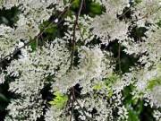 Bạn trẻ - Cuộc sống - Hà Nội đẹp tinh khôi trong màu trắng hoa sưa