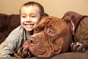 Phi thường - kỳ quặc - Video: Chú chó pitbull lớn nhất thế giới nặng 80kg