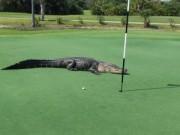 """Golf - Tá hỏa vì cá sấu lên sân golf """"tắm nắng"""""""