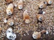 Du lịch - Sửng sốt trước làng cáo ở Nhật Bản