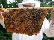 Cẩm nang tìm việc - U70 kiếm hàng trăm triệu mỗi năm nhờ nuôi ong lấy mật