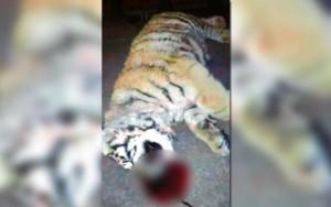 Thế giới - 3 quan chức TQ bị phạt nặng vì nuôi hổ làm thú cưng