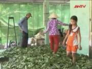 Thị trường - Tiêu dùng - Xuất hiện người lạ mặt mua lá mãng cầu xiêm ở Hậu Giang