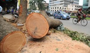 Ca nhạc - MTV - Nhạc sĩ Nguyễn Cường: Tôi nghĩ đây là một cuộc thảm sát cây