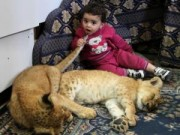 Phi thường - kỳ quặc - Nuôi 2 chú sư tử làm thú cưng cho con chơi đùa