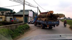 Tin tức Việt Nam - Theo dấu cây xanh vừa bị đốn hạ ở Thủ đô