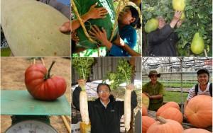 """Thị trường - Tiêu dùng - Những trái to quả """"khủng"""" siêu """"độc"""" trên đất Việt"""