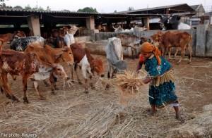 Thế giới - Nông dân Ấn Độ điêu đứng vì lệnh cấm thịt bò