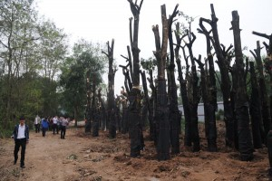"""Tin tức trong ngày - Vụ 6700 cây xanh: """"Không có chuyện bán gỗ ra ngoài"""""""