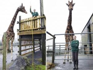 Phi thường - kỳ quặc - 'Choáng' với chú hươu cao cổ cao nhất thế giới