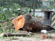 Tin tức trong ngày - Hà Nội: Loạt cây cổ thụ đường Láng chính thức bị đốn hạ