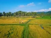 Du lịch Việt Nam - Mùa cốm dẹp ở Ô Lâm, An Giang